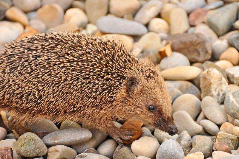 Hedgehog Royalty Free Stock Photo
