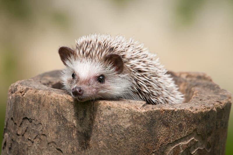 Hedgehog royalty free stock image