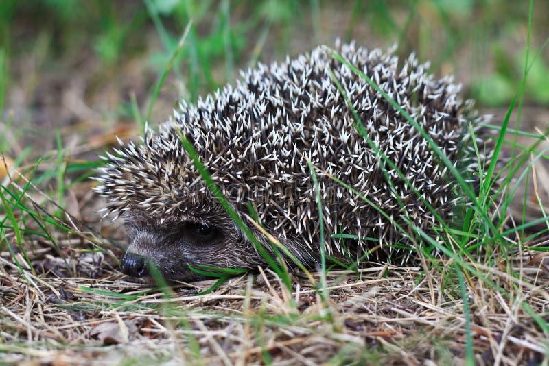 Download Hedgehog stock photo. Image of wild, animals, mammals - 25736808