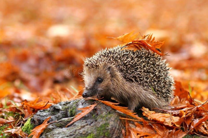 Hedgehog fotos de stock royalty free