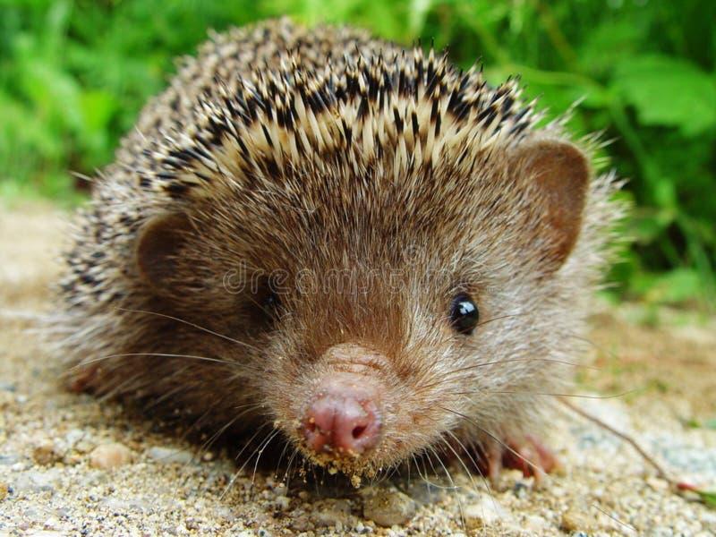 Download Hedgehog стоковое изображение. изображение насчитывающей земля - 6852355