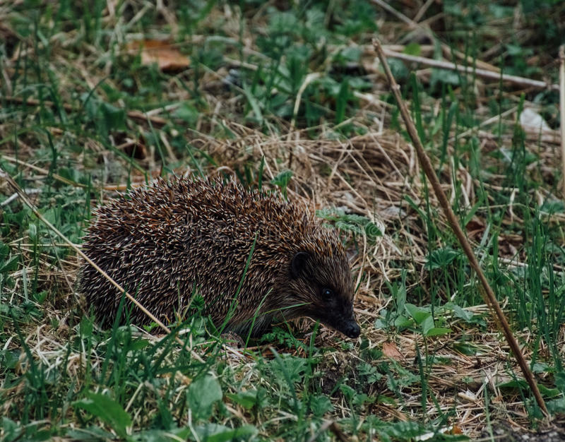 hedgehog immagine stock