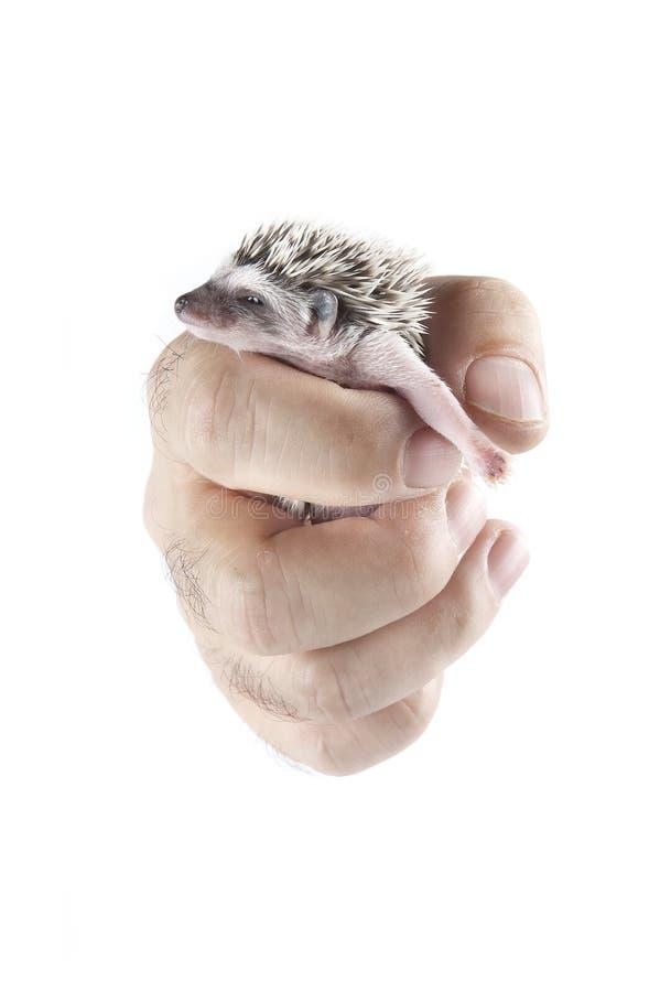 Hedgehog africano do pigmeu à disposicão fotografia de stock