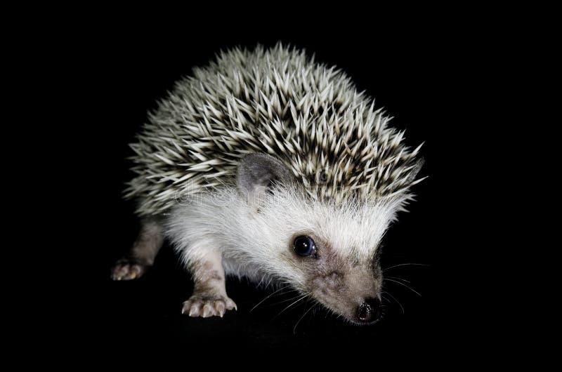 Hedgehog africano do pigmeu fotos de stock