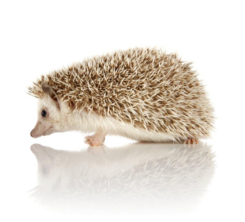 Hedgehog africano do pigmeu imagens de stock royalty free