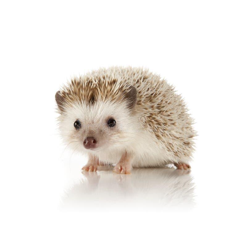 Hedgehog africano do pigmeu fotos de stock royalty free