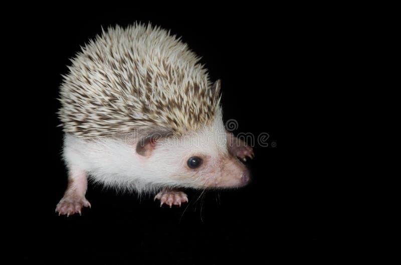 Hedgehog africano do pigmeu imagem de stock