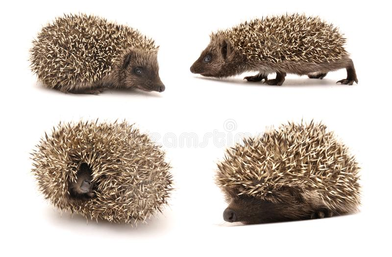 Hedgehog. Animal collection isolated on white background. Hedgehog. Animal collection isolated on white background stock images