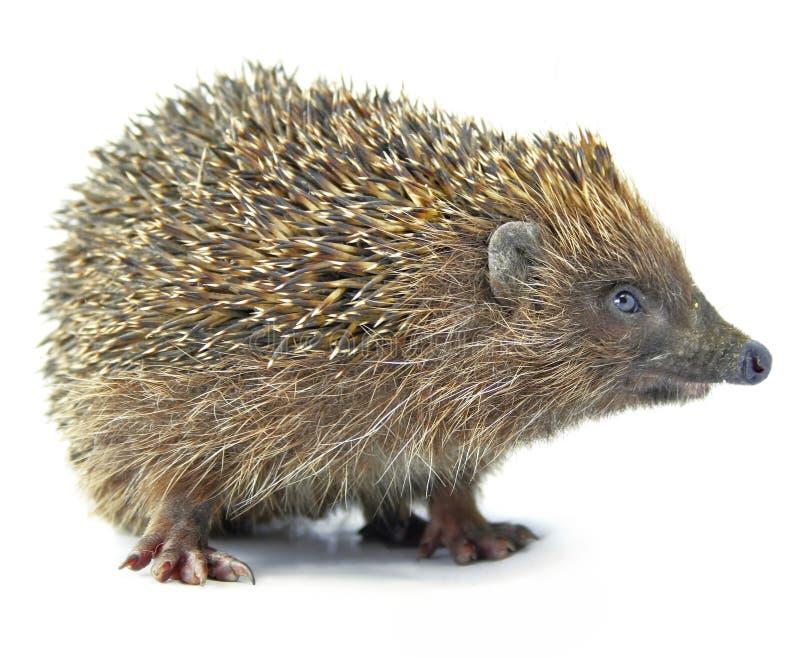 Hedgehog animal isolated on white royalty free stock photos