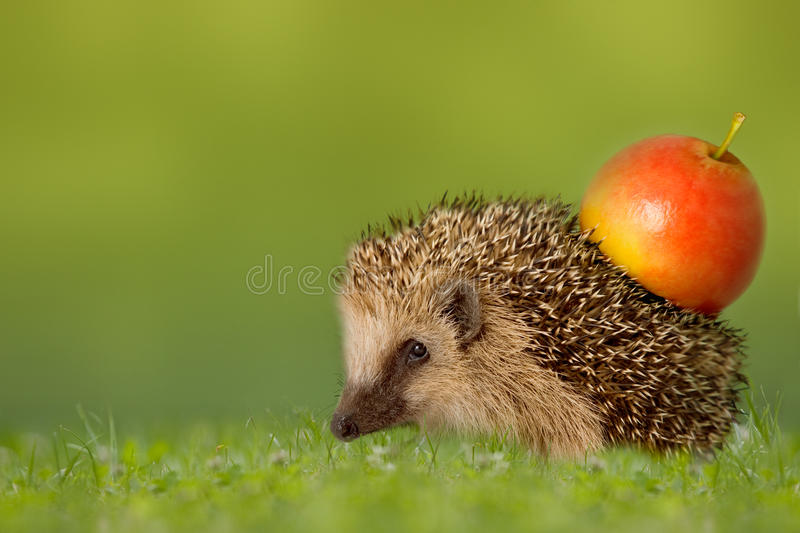 Hedgehog with apple on the backs. In green meadow royalty free stock photos
