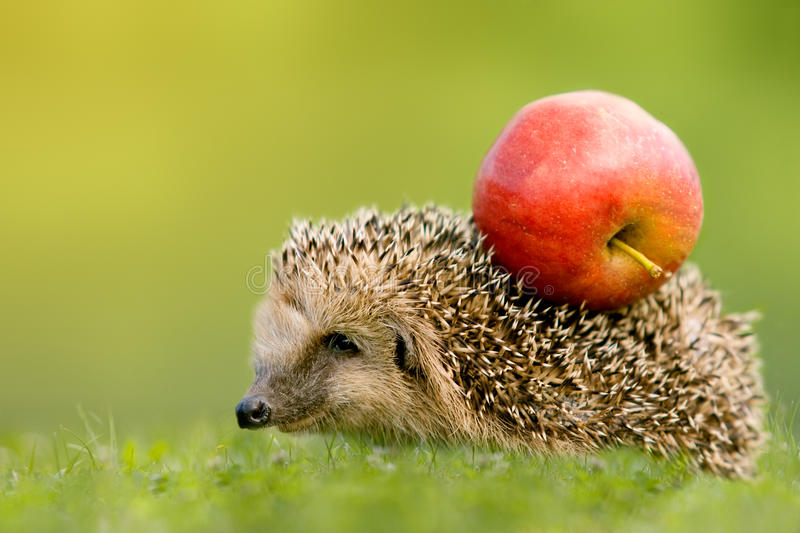 Hedgehog with apple on the backs. In green meadow stock image