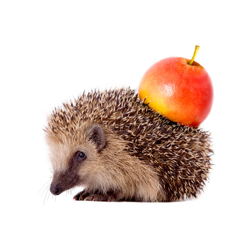 Hedgehog with apple on her back isolated. On white background stock image