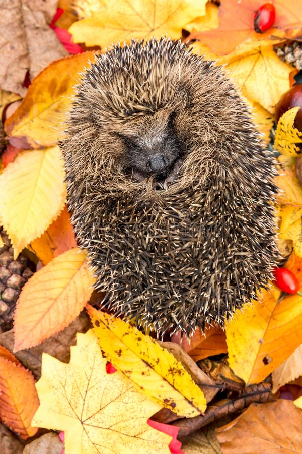 Hedgehog in Autumn. Portrait of a wild, native, European hedgehog curled into a ball in colourful Autumn leaves royalty free stock photography