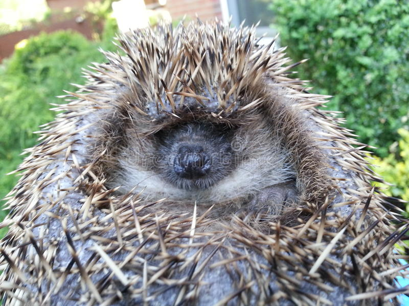Hedgehog Ball close up royalty free stock images