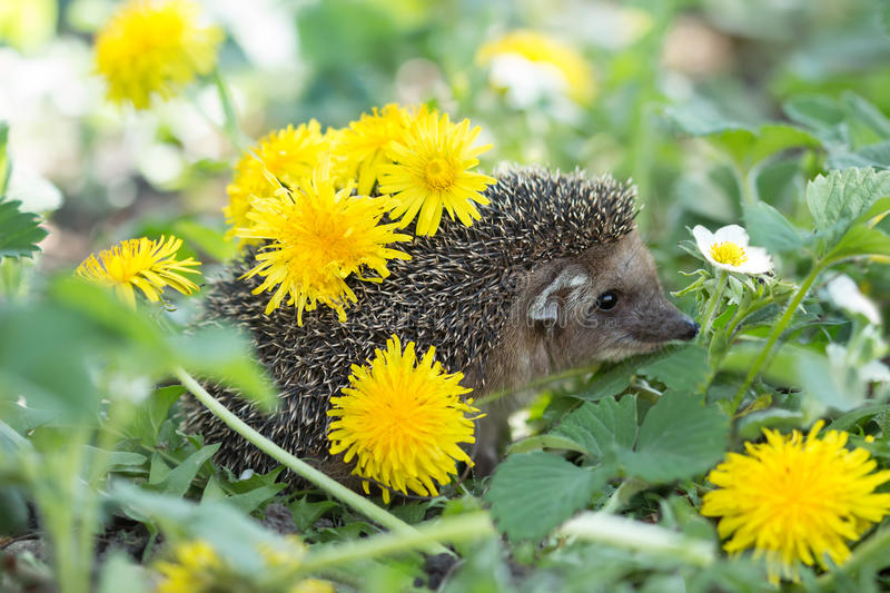 Hedgehog among the blooming strawberry with dandelions royalty free stock photos