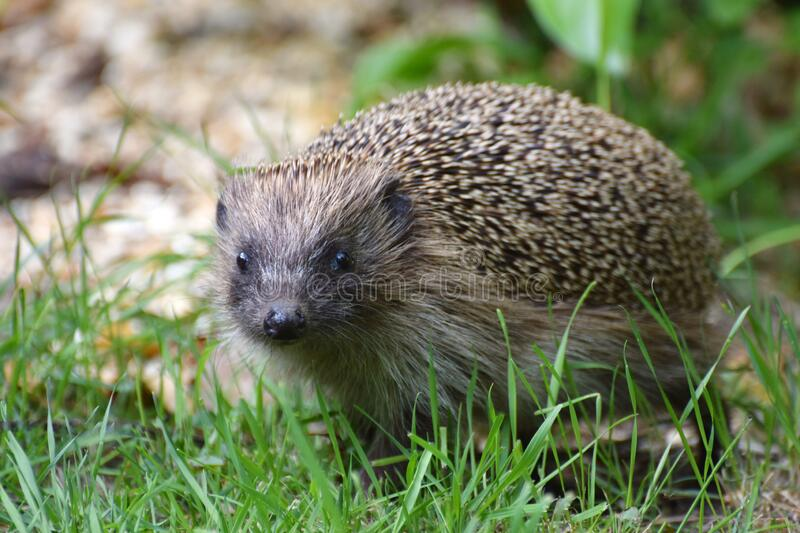 Hedgehog in a British garden close up royalty free stock photos