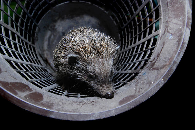 Download Hedgehog in bucket stock image. Image of bristle, quill - 14402835