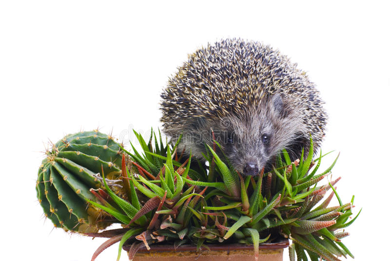 Download Hedgehog On The Cactus And Aloe Stock Photo - Image: 11261352