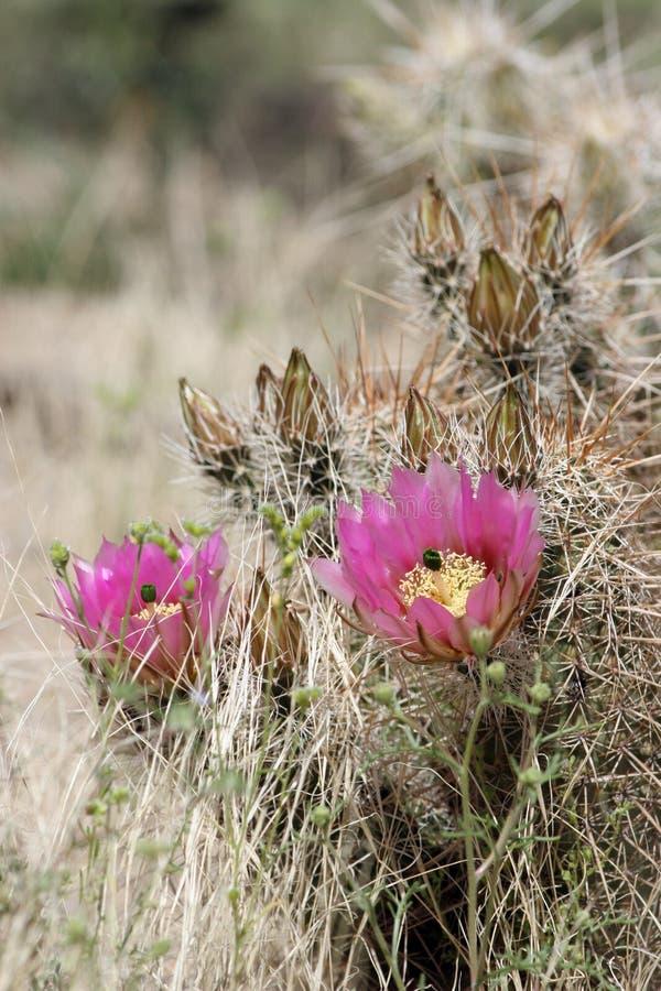 Hedgehog Cactus, Echinocereus engelmannii