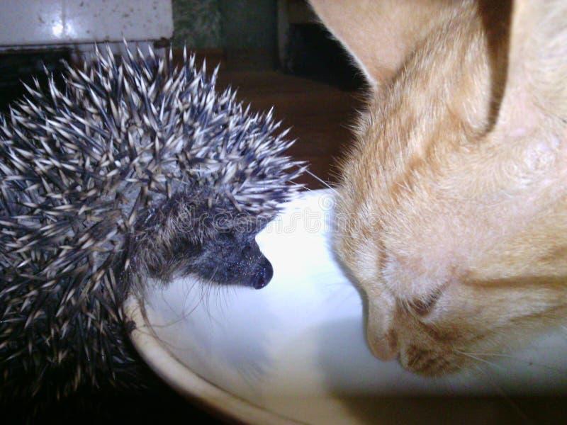 hedgehog and cat dinner stock photos