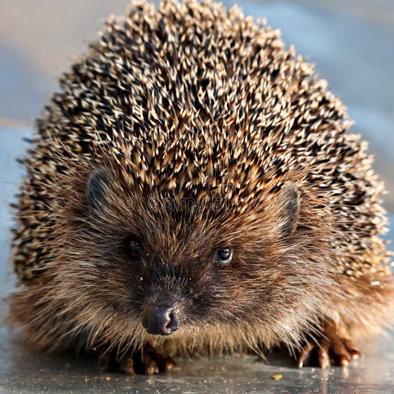 Hedgehog closeup. Cute portrait of hedgehog snout looking at camera closeup royalty free stock photo