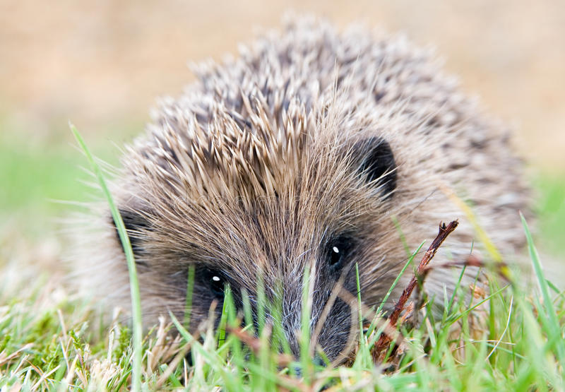 Hedgehog closeup portrait in a garden stock photography