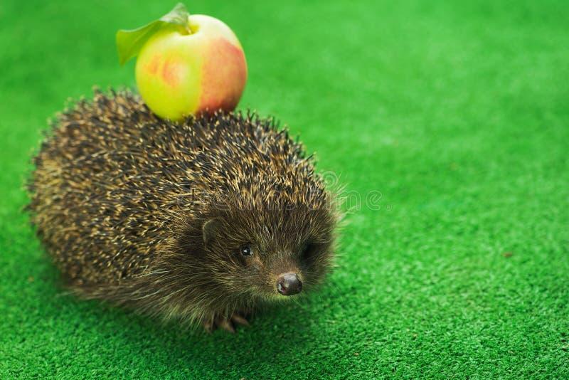 Hedgehog com maçã verde fotografia de stock