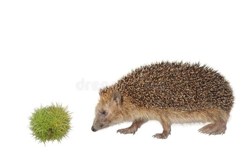 Hedgehog da castanha imagem de stock royalty free