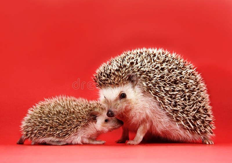Hedgehog da matriz e do bebê foto de stock royalty free