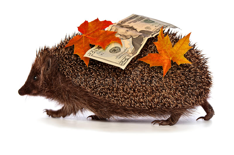 Hedgehog with dollars profit. The hedgehog in motion hastens home from the bank carrying twenty percent dollar profit royalty free stock photography