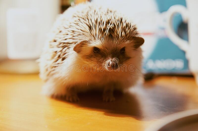 Hedgehog Free Public Domain Cc0 Image