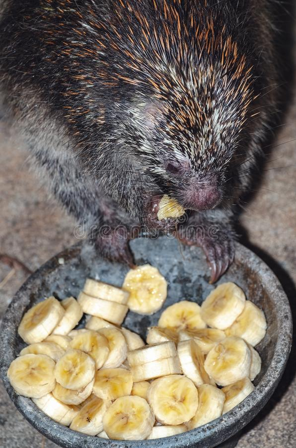 Hedgehog eating banana. Close up on a hedgehog eating slices of banana on a bowl royalty free stock images