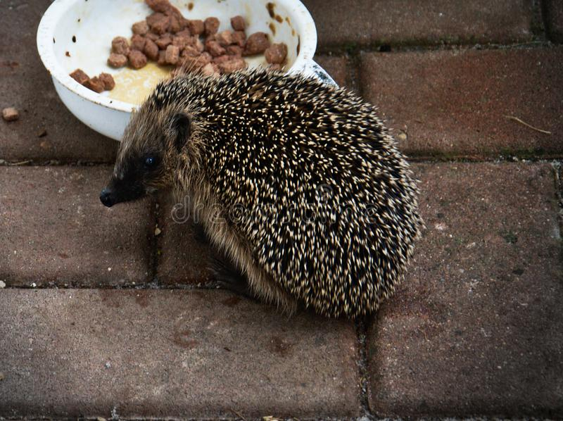 Hedgehog eating catfood from bowl. Hedgehog eating cat food from bowl royalty free stock images