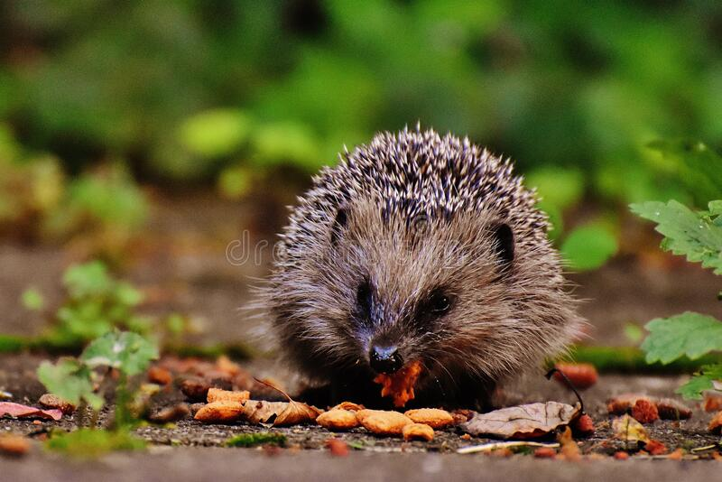 Hedgehog Eating Free Public Domain Cc0 Image