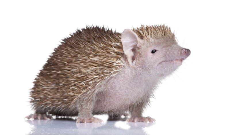 hedgehog echinops меньшее tenrec telfairi стоковое изображение
