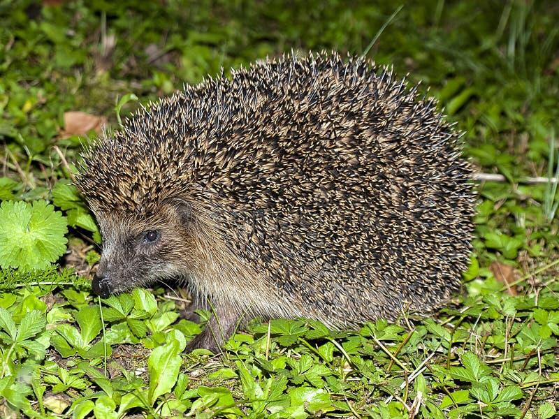 Hedgehog, Erinaceidae, Domesticated Hedgehog, Fauna Free Public Domain Cc0 Image