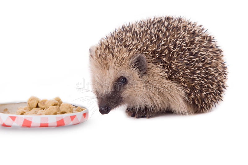 Hedgehog, Erinaceus europaeus, isolated. On white background royalty free stock photo