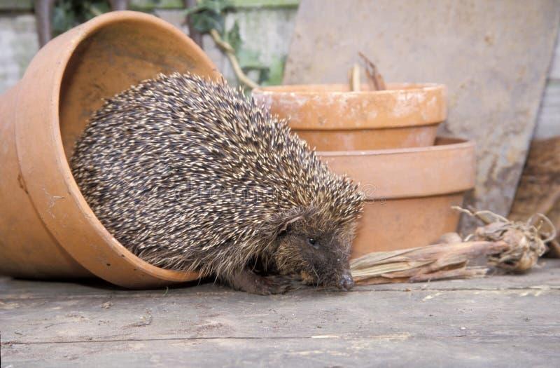 Hedgehog, Erinaceus europaeus. Single mammal by flowerpot, UK stock photos