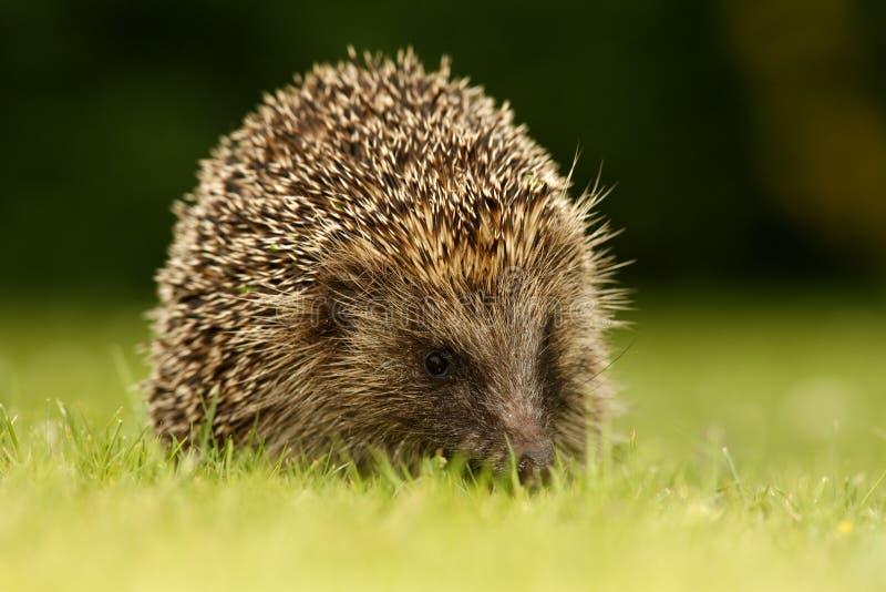 Download Hedgehog, Erinaceus Europaeus Royalty Free Stock Photo - Image: 33959185