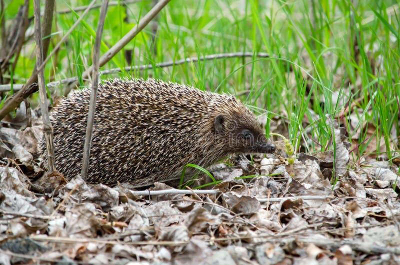 Hedgehog europeu foto de stock royalty free