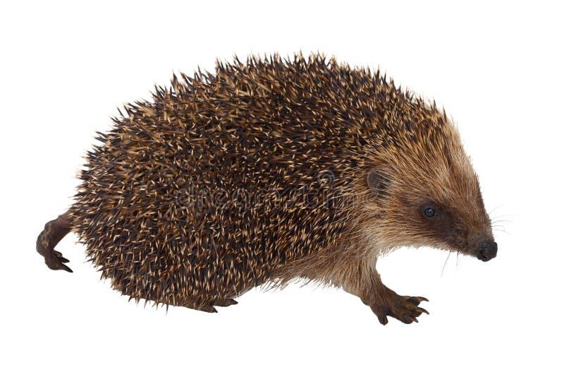 Hedgehog europeu foto de stock