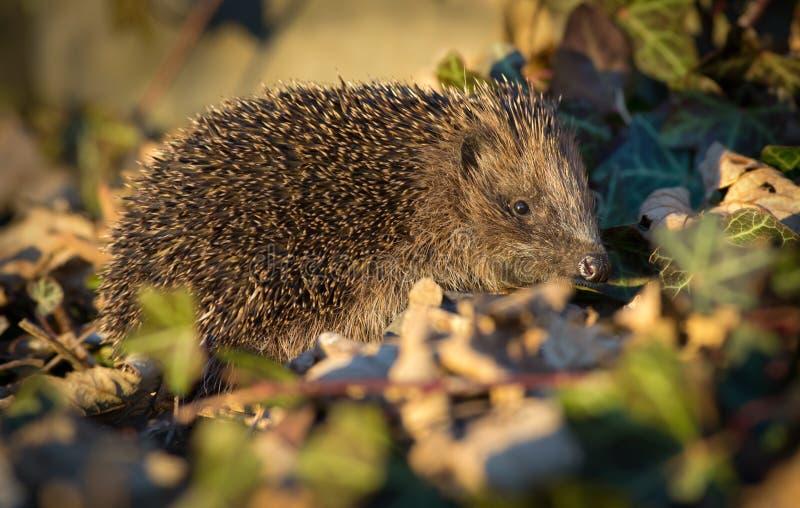 Hedgehog europeu fotografia de stock royalty free