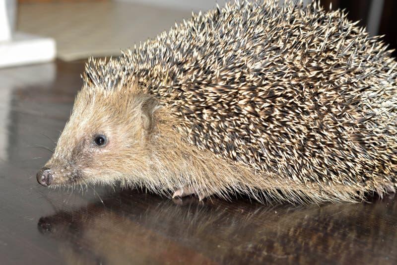 Hedgehog europeu imagens de stock royalty free