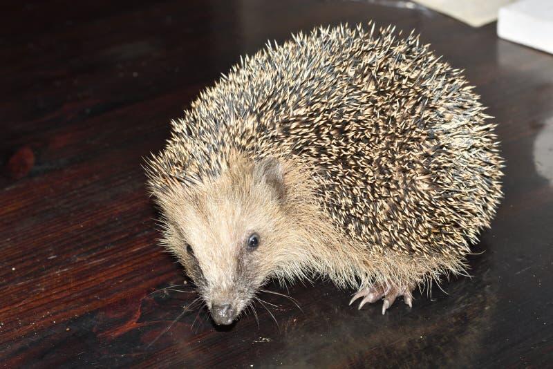 Hedgehog europeu fotografia de stock