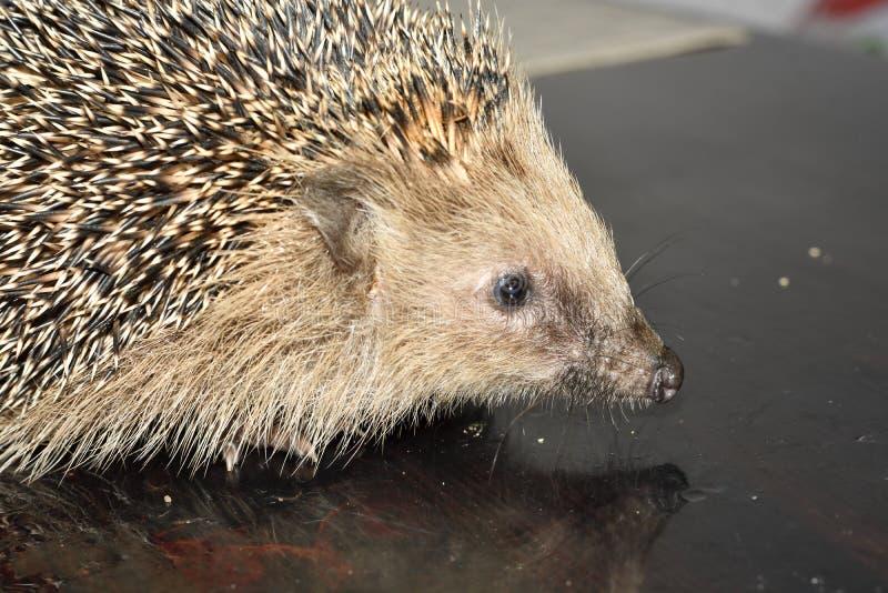 Hedgehog europeu imagens de stock