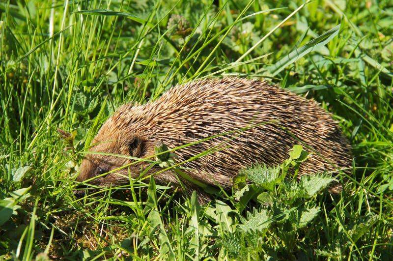 Hedgehog europeu ocidental foto de stock