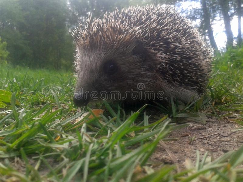 Hedgehog in the forest royalty free stock photos