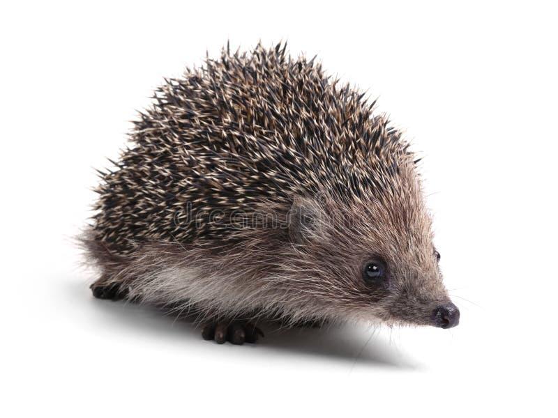Hedgehog, isolated on white stock photo