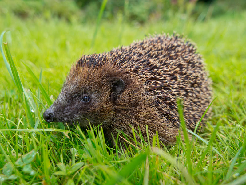 Hedgehog in a garden. Grass field royalty free stock photo