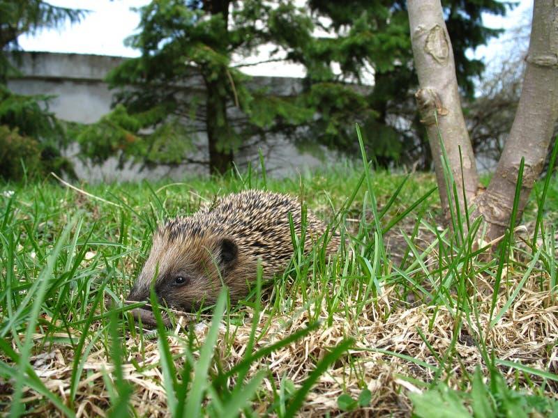 Hedgehog in garden stock photography